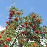 分支用成熟花楸浆果,山梨aucuparia 免版税库存照片