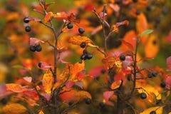 分支用成熟莓果和明亮的五颜六色的叶子在秋天 免版税库存照片
