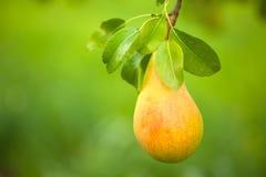 分支用成熟水多的梨 免版税库存照片
