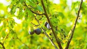 分支用摇摆风以绿色叶子为背景,李子收获的李子在秋天庭院里 影视素材