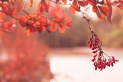 分支用明亮的红色莓果和叶子 免版税库存照片
