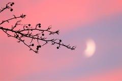 分支用由月光的莓果在12月 库存图片