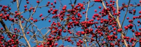 分支用红色山楂树果子 设计的横幅 免版税库存照片