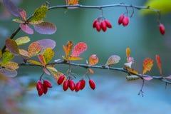 分支用红色莓果灌木伏牛花和五颜六色的秋叶 免版税库存照片