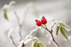 分支的弗罗斯特 美好的冬天季节性自然本底 弗罗斯特野玫瑰果灌木 免版税库存图片
