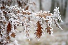 分支的弗罗斯特 美好的冬天季节性自然本底 弗罗斯特野玫瑰果灌木 免版税图库摄影