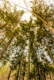 分支的看法在树的在日落颜色 从太阳的不可思议的光芒在森林和树里 库存照片