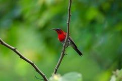分支的绯红色Sunbird风行本质上 库存照片