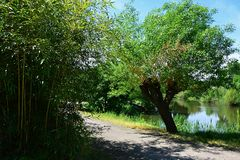 分支相似性-竹叶子和柳树在路的另一边在水池旁边 免版税图库摄影