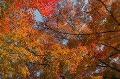 分支红槭在日本离开树,秋天 免版税库存照片