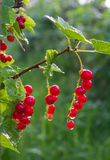 分支红浆果在庭院里 免版税图库摄影