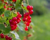 分支红浆果在庭院里 免版税库存图片