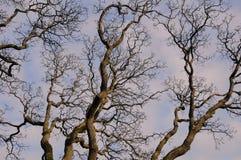 分支结构树冬天 免版税库存图片