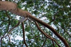分支,合欢树树的叶子 免版税库存照片