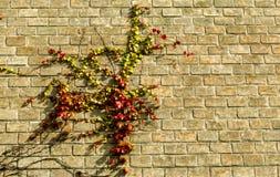 分支,如果常春藤植物上升的砖墙 库存照片