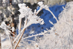 分支,草叶在霜的,雪,冬天 图库摄影