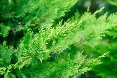 分支cupressocyparis Leylandii绿色背景 库存图片