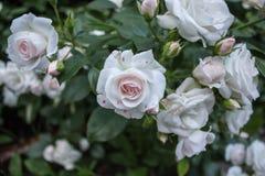 分支rosebush 001 免版税库存图片