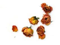 分散的51朵干燥玫瑰 库存图片
