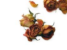 分散的53朵干燥玫瑰 免版税库存图片
