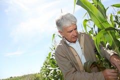分析玉米的农艺师 免版税图库摄影