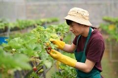 分析草莓的质量 免版税库存照片