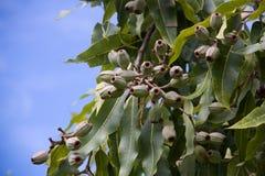 分泌树液在一棵树的坚果有天空背景 免版税库存照片