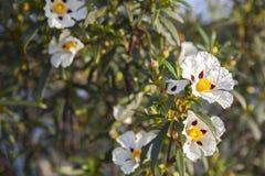 分泌树液沙漠座莲花在Piedras河沿,韦尔瓦省,西班牙 免版税图库摄影