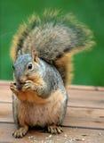 分蘖性灰鼠被盯梢的结构树 免版税图库摄影