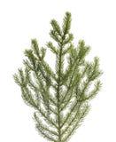 分行云杉的结构树 免版税库存照片