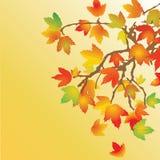 分行例证槭树 图库摄影