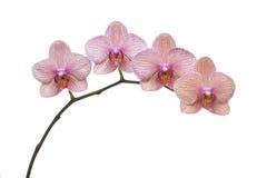 分行兰花植物 库存照片