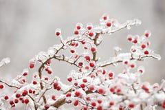 分行冻结的山楂树 免版税图库摄影
