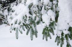 分行包括冷杉雪 免版税库存图片