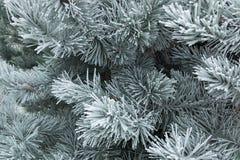 分行包括杉木雪结构树 图库摄影