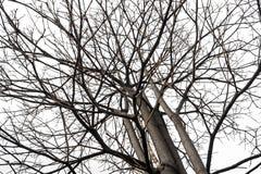 分行干燥结构树 免版税库存照片