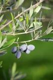 分行庭院橄榄橄榄 库存图片