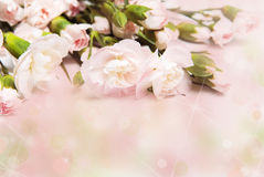 分行康乃馨粉红色 免版税库存图片