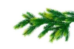 分行接近的杉树 免版税库存图片