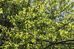 分行明亮的开花的绿色本质春天结构树 叶子和灌木与第一片绿色叶子 免版税图库摄影