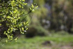 分行明亮的开花的绿色本质春天结构树 叶子和灌木与第一片绿色叶子 图库摄影