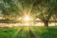 分行明亮的开花的绿色本质春天结构树 夏天背景在河岸的大绿色树下有阳光的通过在日落的分支 免版税库存图片