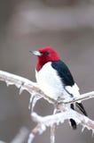 分行朝向冰冷的红色啄木鸟 免版税库存照片