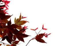 分行槭树 免版税图库摄影