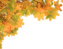 分行槭树 图库摄影