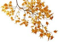 分行槭树 库存图片