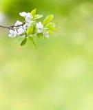 分行樱桃开花在结构树的绿色 免版税图库摄影