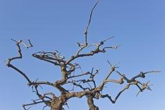 分行烘干结构树 免版税库存照片