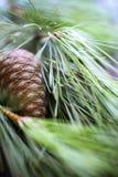 分行瑞士五针松结构树 库存图片