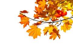 分行秋天留下槭树 库存图片